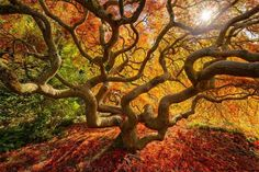 """""""Fall color explosion"""" by Protik Hossain. Japanese maple tree in Portland, Oregon. Fall Pictures, Fall Photos, Fall Images, Terre Nature, Color Explosion, Smile World, Maple Tree, Japanese Maple, Japanese Tree"""