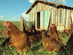 Chicken Life, Camel, Rooster, Animals, Vegetable Gardening, Chicken Coops, Roosters, Backgrounds, Ideas