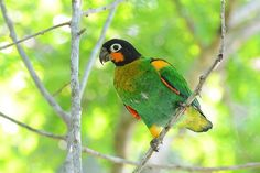 orange-cheeked parrot-Parrot Of The Day (@ParrotOfTheDay) | Twitter