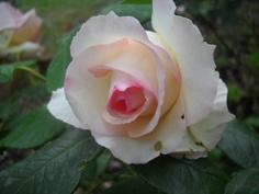 From my garden.(Princess of Monaco)