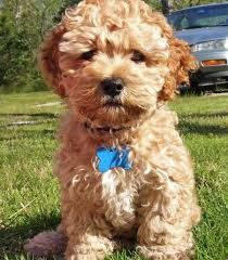 spoodles puppies - I WANT THIS ONE - GORGEOUS