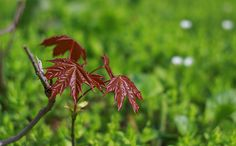 Весенне-осенний контраст    / #photography #фотография  #nature #природа  #macro #макро  #red #красный  #green #зеленый  #spring #springtime #весна  #plants #растения  #botanical #ботанический  #leaves #листья  #maple #клен /
