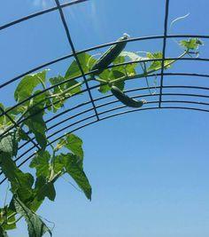 "Raised Bed Gardening:  ""MarketMore"" Cucumbers!"