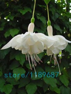 200pcs/bag Fuchsia seeds,Fuchsia Flowers ,Lantern flower,begonia flower seeds,bonsai flower seeds,plant for home garden