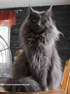 Maine coon gris