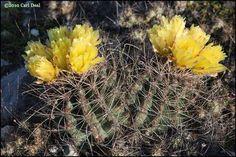 Ferocactus hamatacanthus - Google Search
