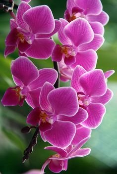 Orchids are outdoor plants here. They grow in pots hanging from a tree in my front yard year round. Beautiful Flowers Garden, Amazing Flowers, My Flower, Pretty Flowers, Colorful Roses, Exotic Flowers, Pink Flowers, Purple Roses, Orchidaceae