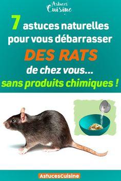 Les rats se trouvent partout dans le monde. Ce sont des rongeurs capables de vivre dans les conditions les plus inhospitalières, surtout dans les maisons, cachés loin des regards. Ils sont très destructeurs et peuvent fissurer facilement des murs et la tuyauterie. Mais, comment s'en débarrasser ?
