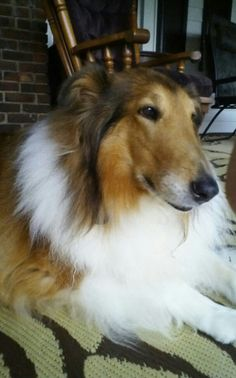 Ginny , Beatiful rescued Collie .