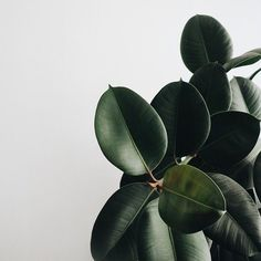 Indoor plants / Ficus : Rubber