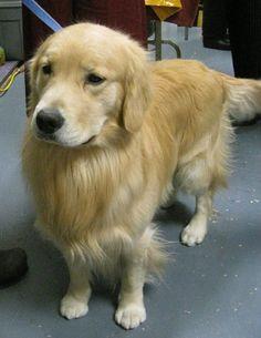 Westminster Dog Show 2010: Golden Retriever
