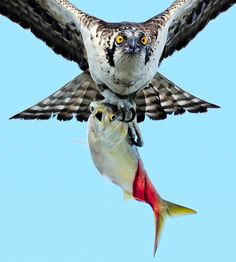 Osprey -- Ospreys are superb fishers and indeed eat little else—fish make up some 99 percent of their diet.