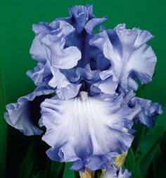 "Abiqua Falls. It is a big advance in color, flower form and plant vigor. Clean sapphire blue self has ruffled and twirled petals. Its very vigorous plant growth is both disease resistant and produces eight to nine buds per stalk. Midseason. Height: 39"". Awards: HM '05, AM'07. $8.00"