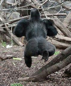 . Silverback Gorilla, Chimpanzee, Orangutan, Gorilla Zoo, Primates, Animals And Pets, Cute Animals, Types Of Monkeys, Funny Animals