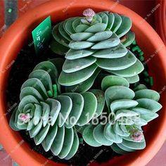Best-selling 200pcs Japanese Succulents Seeds Rare Indoor Flower Mini Cactus Seeds fleshier plant Polygon flower seeds for sale