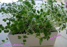 Microgreens brócolos Life in a bag by Emoção às Colheradas