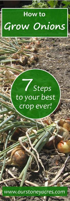 Growing onions is a pretty simple garden task. Just follow these 7 steps for your best crop ever! Onions are a great addition to any vegetable garden. With proper storage and planning you might never have to buy an onion again! Learn more by reading this post!