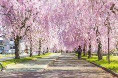 No.14895 日中線のしだれ桜 (喜多方市) [観光フォトライブラリ] - 法人・教育・団体・メディアの皆様向け「ふくしまの旅」
