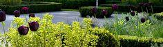 Euphorbia martinii + tulip 'Queen of the Night' Andy Sturgeon