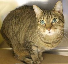 ADOPTED>Intake: 11/7 Available: Now  NAME: Abby  ANIMAL ID: 30129215 BREED: DSH  SEX: Spayed Female  EST. AGE: 10 yrs  Est Weight: 10.3 lbs  Health:  Temperament: Friendly  ADDITIONAL INFO: O/S  RESCUE PULL FEE: $39