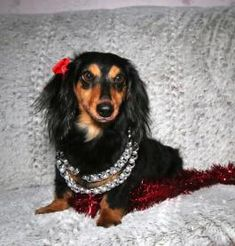 Mini Puppies, Puppies For Sale, Dachshund Breeders, Lancaster Puppies, Miniature Dachshunds, Miniatures, Dogs, Animals, Sewing Crafts