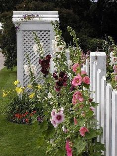 Hollyhocks with white fence backdrop.