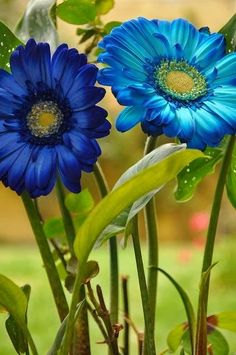 flowersgardenlove:  Blue Gerbera Daisies Beautiful