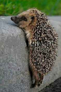 Cute hedgehog.