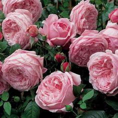 """English Rose by David Austin """"Spirit of Freedom"""" Rosas David Austin, David Austin Rosen, Love Rose, Pretty Flowers, Pink Flowers, Exotic Flowers, Pink Peonies, Yellow Roses, Beautiful Roses"""