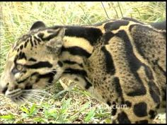 Clouded Leopard in Arunachal!