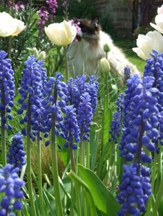 Louise Ireland's My #Garden  Grape Hyacinth is my absolute favorite flower. A must have in my dream life garden in Ireland.