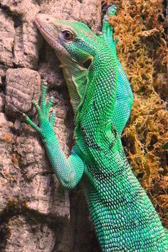 Green Tree Monitor Climbing
