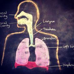 Respiratory system, Waldorf homeschool, grade 7