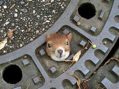 Gully Squirrel