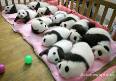 Not stuffed animals - real Pandas!