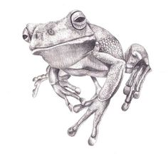 Pencil Drawing - White Lipped Tree Frog Art Print