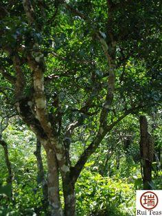 Ancient tea trees in Yunnan, China