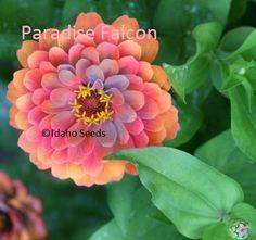 Zinnia Seeds, Paradise Falcon© Zinnia Flower 50 Seeds, Annual, Idahoseeds© Seed Pack Idahoseeds http://www.amazon.com/dp/B00KCBFF9S/ref=cm_sw_r_pi_dp_i383tb1JJ49X7Z3D