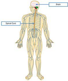 Nervous system organization diagram ap cns pinterest nervous system organization diagram ap cns pinterest nervous system ccuart Gallery