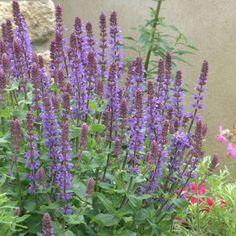 Salvia superba 'Blue Queen' - Excellent garden value on account of its dwarf habit (40cm) and long lasting rich blue flowers enhanced by dark purple bracts. Best grown in full sun.