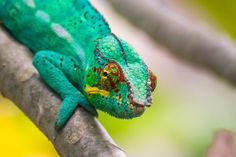 The panther chameleon by Pierre-Yves Babelon