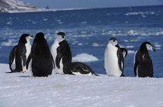 Chinstrap Penguin (Pygoscelis antarctica), King George Island, Antarctica by Robson Silva e Silva