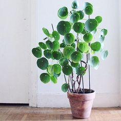 The Chinese money plant Who has managed to get their hands on one of these babies? I hear there are year long waiting lists?! May need to put my name down   #chinesemoneyplant #indoorplants #greenery #interiorstyling #interiordesign #interiordecoration #styling #stylist #ncinteriors #interiorinspo #interiorstyle #interiordecor #plant #home #indoor #nature #earth #life #life #living #green