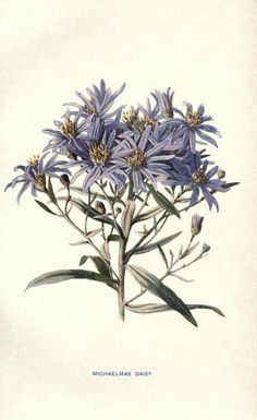 Michaelmas Daisy. Plate from 'Familiar Garden Flowers' figured by F. Edward Hulme and described by Shirley Hibberd.Published 1907.