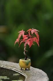 Mini Bonsai Arce