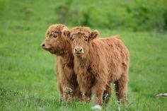 Fluffy Sisters Highland Calves Postcard by EviaCarpenter on Etsy, $1.15
