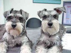 Two of the most amazing and adorable Miniature Schnauzers and their names are Sky & Cherry, aren't these two sweeties absolutely darling??  <--- mine is cuter :)