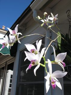 Laelia anceps hanging on our patio. Another orchid you can grow without a greenhouse