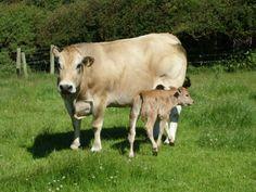 Parthenais Cattle - Google Search