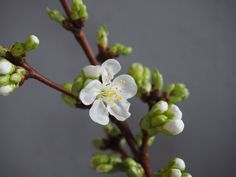 Kortreiste kirsebærblomster i vase = vårfølelse! Vase, Spring, Tips, Plants, Plant, Vases, Planets, Jars, Counseling